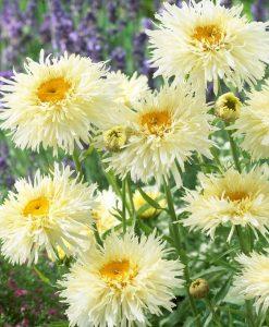 Chrysantheum (Leucanthemum) Snowdrift - Crazy Daisy - Pack of TWO