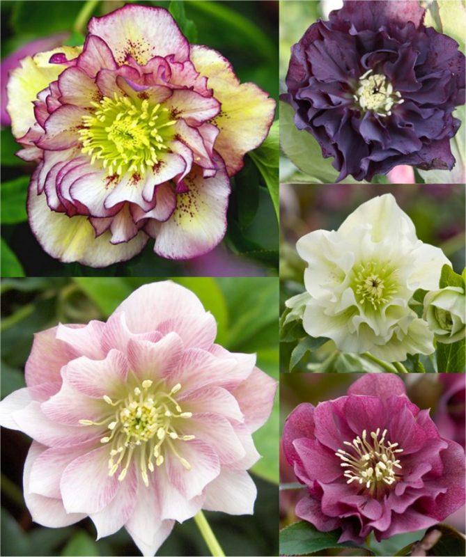 Connoisseur Helleborus Plants Collection - Pack of FIVE Double Ellen Hellebore Plants