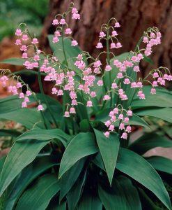 Convallaria Lily of the Valley Pink - Pack of THREE