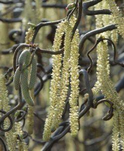 Corylus avellana Contorta - Large Corkscrew Hazel - Specimen Plant