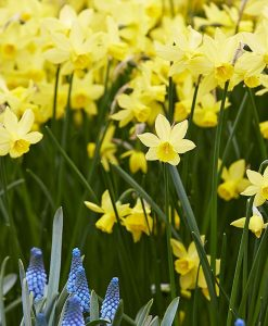 Daffodil - Narcissus Lemon Sailboat