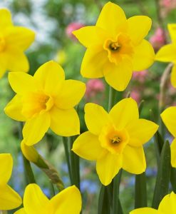Daffodil - Narcissus Sweetness