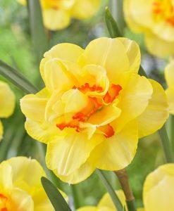 Daffodil - Narcissus Tahiti - Double