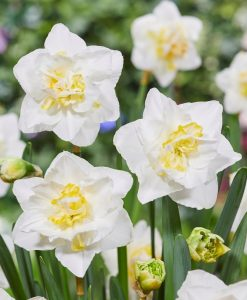 Daffodil - Narcissus White Lion - Double