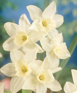 Daffodil - Narcissus tresamble