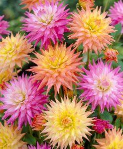 Dahlia Cactus Pastel - Pack of THREE
