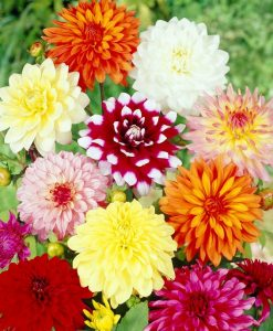 Dahlia Decorative Mix Collection - Pack of THREE