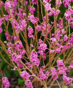 Daphne mezereum rubra - Red Flowered Daphne mezureum Plants - LARGE