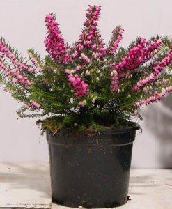 Deep Pink-Red Flowering Heather Plants - Erica - Pack of 15 Plants