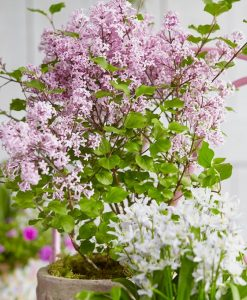 Dwarf Korean Lilac - Syringa Josee - Large Plant