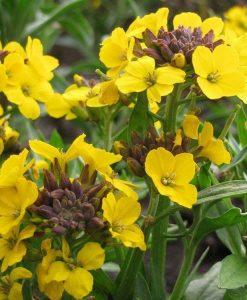 Erysimum suffruticosum Canaries Yellow - Gold Dust Plants in Bud & Bloom