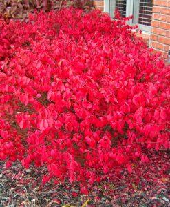 Euonymous Alatus - Burning Spindle Bush Euonymus - Extra Large Specimen