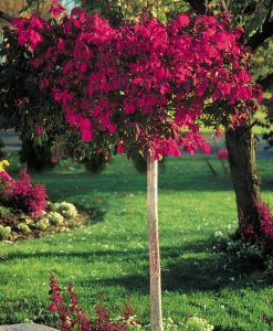 Euonymous alatus TREE - Burning Bush Spindle Tree Euonymus - Extra Large 140-180cms Tree