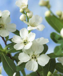 Exochorda racemosa The Bride - Large Specimen
