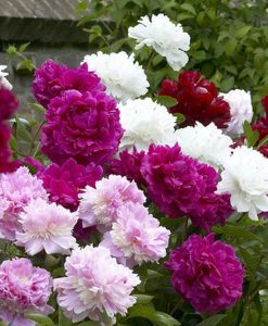 Exotic Looking Fragrant Garden Peony Plants Collection - Pack of THREE Plants
