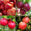 Four Large 4-5ft Patio PILLAR Fruit Trees - Childhood memories Orchard Bundle - 4 Different Trees