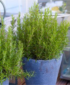 Fragrant Rosmarinus officinalis - Rosemary Bush