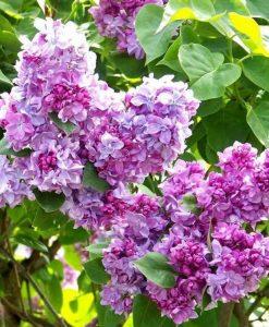 Fragrant Standard Lilac Tree - Syringa vulgaris Katherine Havemeyer - Large 150cm Standard Tree