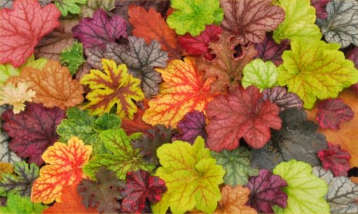 Handsome Heuchera Collection - Pack of FOUR Evergreen Plants
