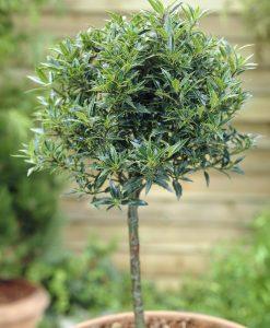 Holly Tree Patio Standard - Ilex aquifolium Myrtifolia