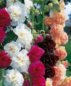 Hollyhock Chaters Doubles - Pack of THREE Plants