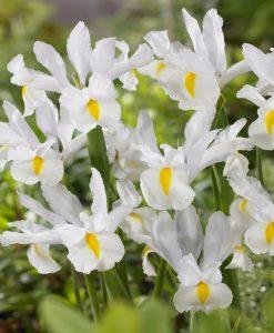 Iris hollandica White van Vliet - Pack of 12