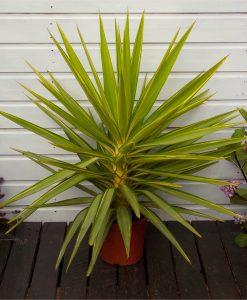 LARGE Patio Adams Needle Yucca Jewel Palm Trees - Approx 65-75cms