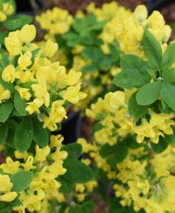 Laburnum anagyroides Yellow Rocket - Upright Golden Chain Tree