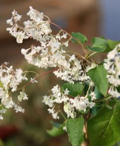 Large 6-7ft Specimen Climber - Fallopia aubertii - (baldschuanica) - Russian Vine