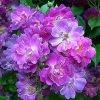 Large 6ft Specimen - Rambling Rose Veilchenbleu - Climbing Rose