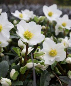 Large Helleborus niger - White Hellebore in Bud & Bloom
