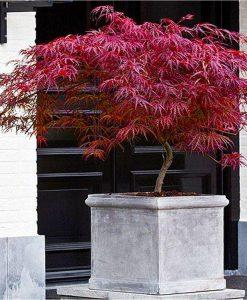 Large Specimen Acer palmatum dissectum Firecracker - Japanese Maple - Approx 120-150cms