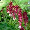 Leycesteria formosa - Pheasant Berry Himalayan Honeysuckle
