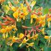 Lonicera x tellmanniana - Honeysuckle