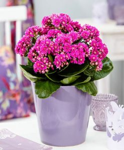 MOTHERS DAY - Deep Pink Kalanchoe Flaming Katy Plant in Bud & Bursting in to Bloom in Silver Pot