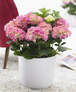 MOTHERS DAY FLOWERS - Blooming Indoor Rose Pink Hydrangea