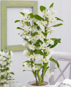 MOTHERS DAY - Noble White Towering Dendrobium Orchid - Premium Quality