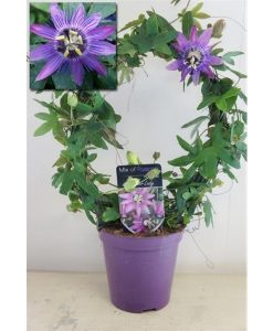 MOTHERS DAY - Passiflora Lavender Lady - Passion Flower - Trained on a Hoop and bursting in to bloom