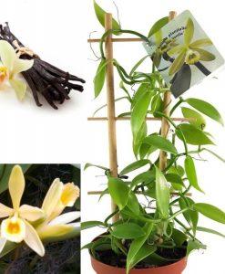 MOTHERS DAY - Vanilla Orchid Plant - Vanilla planifolia - Madagascar Vanilla Bean in white pot - Grow your Own Vanilla!