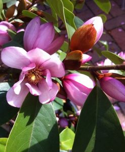 Magnolia Fairy Blush - Evergreen Soft Pink Flowering Magnolia