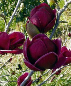 Magnolia Genie - Amazing Purple Black Magnolia - Giant Flowered Black Tulip 120-150cm