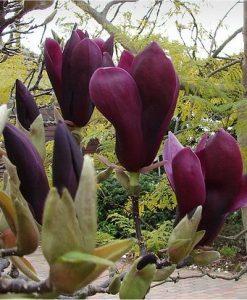 Magnolia Liliiflora Nigra