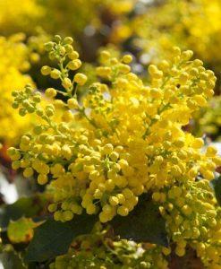 Mahonia aquifolium - LARGE