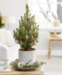 Mini Christmas Tree - Tabletop Christmas Tree - Classy Contemporary Small Real Christmas Tree