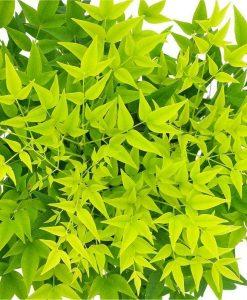 Nandina domestica Lemon-Lime - Brightly Coloured Heavenly Bamboo
