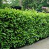 PACK OF 10 - Laurel Hedging - Prunus laurocerasus Rotundifolia Hedging Laurels - Approx 5-7ft+ tall Plants +