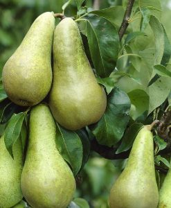 PEAR TREE - Pyrus communis Conference