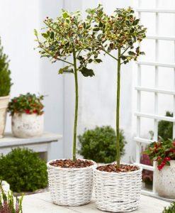 Pair of Ilex argentea marginata Variegated Holly Trees - Perfect for Patios