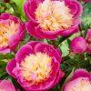 Peony Bowl of Beauty - Exotic Looking Fragrant Garden Peony Plant