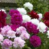Peony Plants Mega Pack - Exotic Looking Fragrant Garden Peony Plants Collection - Pack of SIX Plants